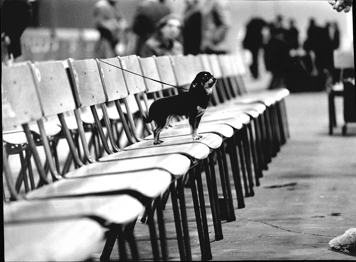 <p>A small dog stands on a chair as he waits to compete in Crufts. (Rex/Shutterstock) </p>