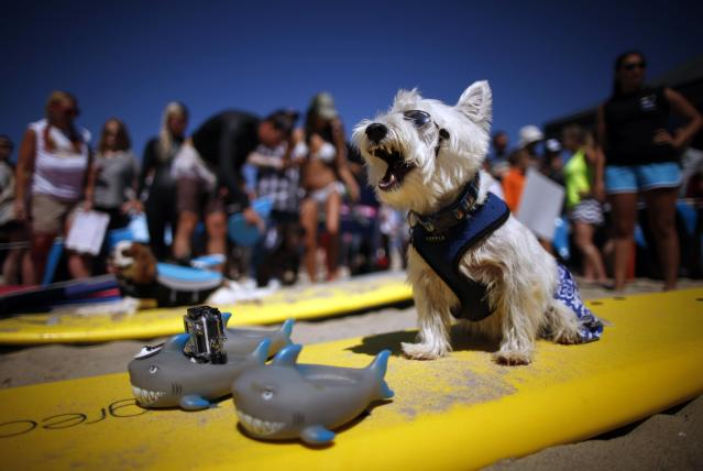 Surf Dog Joey, a West Highland Terrier, yawns as he waits to compete in the Surf City surf dog competition in Huntington Beach, California, September 29, 2013. REUTERS/Lucy Nicholson (UNITED STATES - Tags: SPORT ANIMALS SOCIETY)