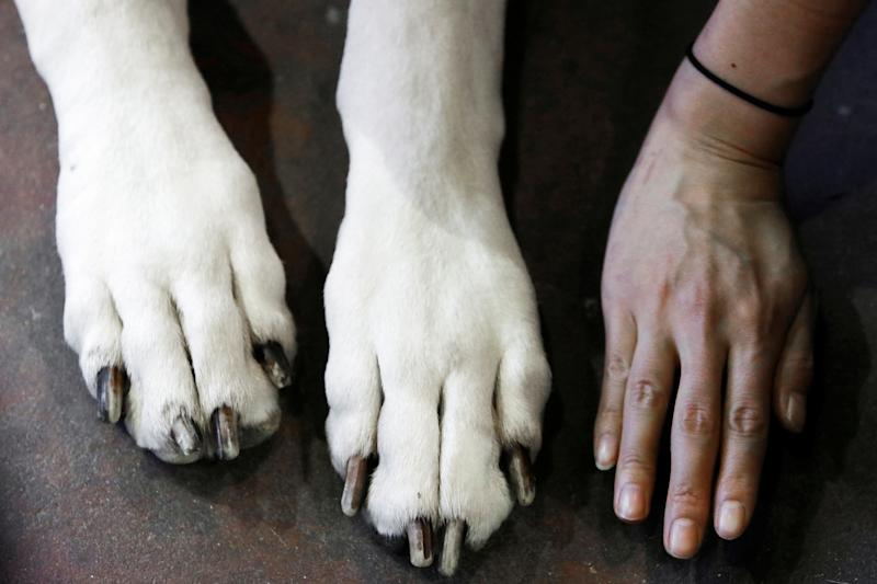 A woman compares her hand with the paws of Kallen, a Great Dane, during the Meet the Breeds event ahead of the 143rd Westminster Kennel Club Dog Show in New York, Feb. 9, 2019. (Photo: Andrew Kelly/Reuters)