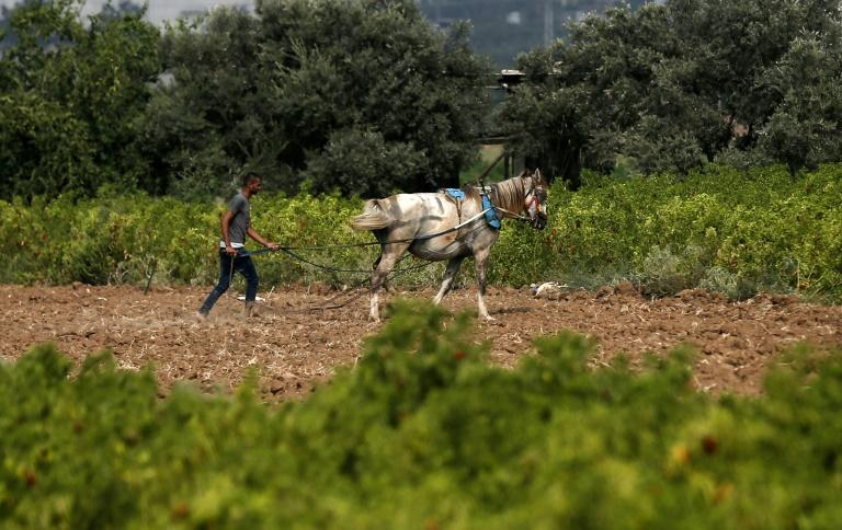 Palestinian farmers say Israel sprayed their lands with strong pesticides for four years, scorching their crops, but stopped this spring allowing their harvests to grow back (AFP Photo/MAHMUD HAMS)