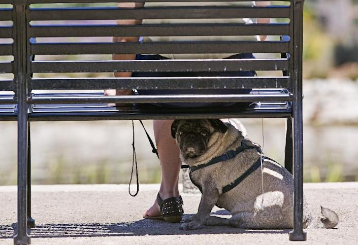 A pug dog rests under the shade of her owner's bench at the Echo Park Lake in Los Angeles Tuesday, May, 13, 2014. An unseasonable spring heat wave is building in California under the influence of a high pressure system that is sending air rushing towards the coast and offshore. (AP Photo)