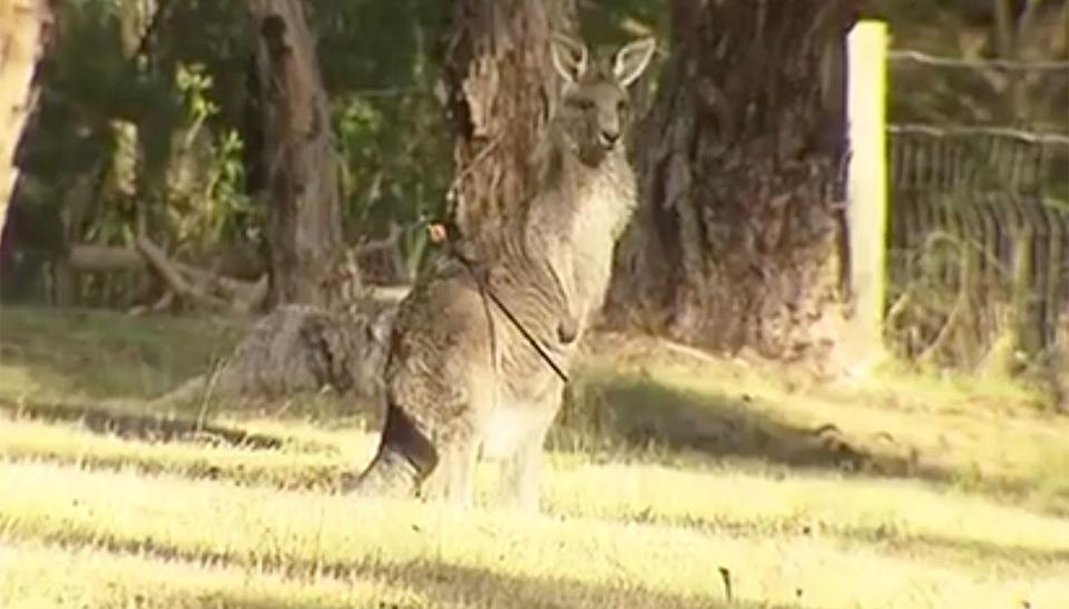 Kangaroo, Georgia, who was found shot with an arrow in Victoria is expected to recover fully after she underwent surgery. Source: 7 News