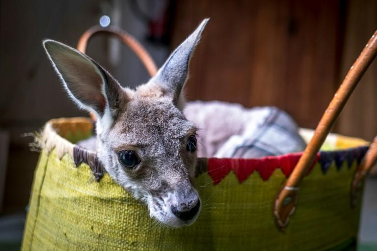 French sewing enthusiasts have responded to an appeal for cloth pouches for baby kangaroos and koalas in fire-ravaged regions in Australia (AFP Photo/ERIC CABANIS)