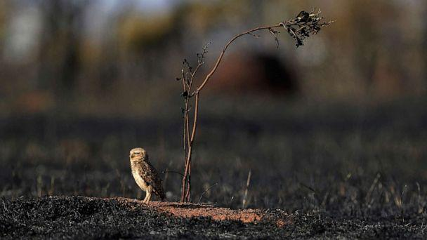 PHOTO: An owl stands in the savanna following a frie in Brazil, Sept. 17, 2019, during a hot, dry spell. (Eraldo Peres/AP)