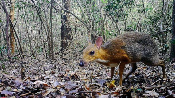 PHOTO: This handout picture released on Nov. 11, 2019, shows a mouse-deer at an undisclosed location in Vietnam. From: Southern Institute of Ecology/Global Wildlife Conservation/Leibniz Institute for Zoo and Wildlife Research/ NCNP/AFP/Getty Images (via AFP/Getty Images)