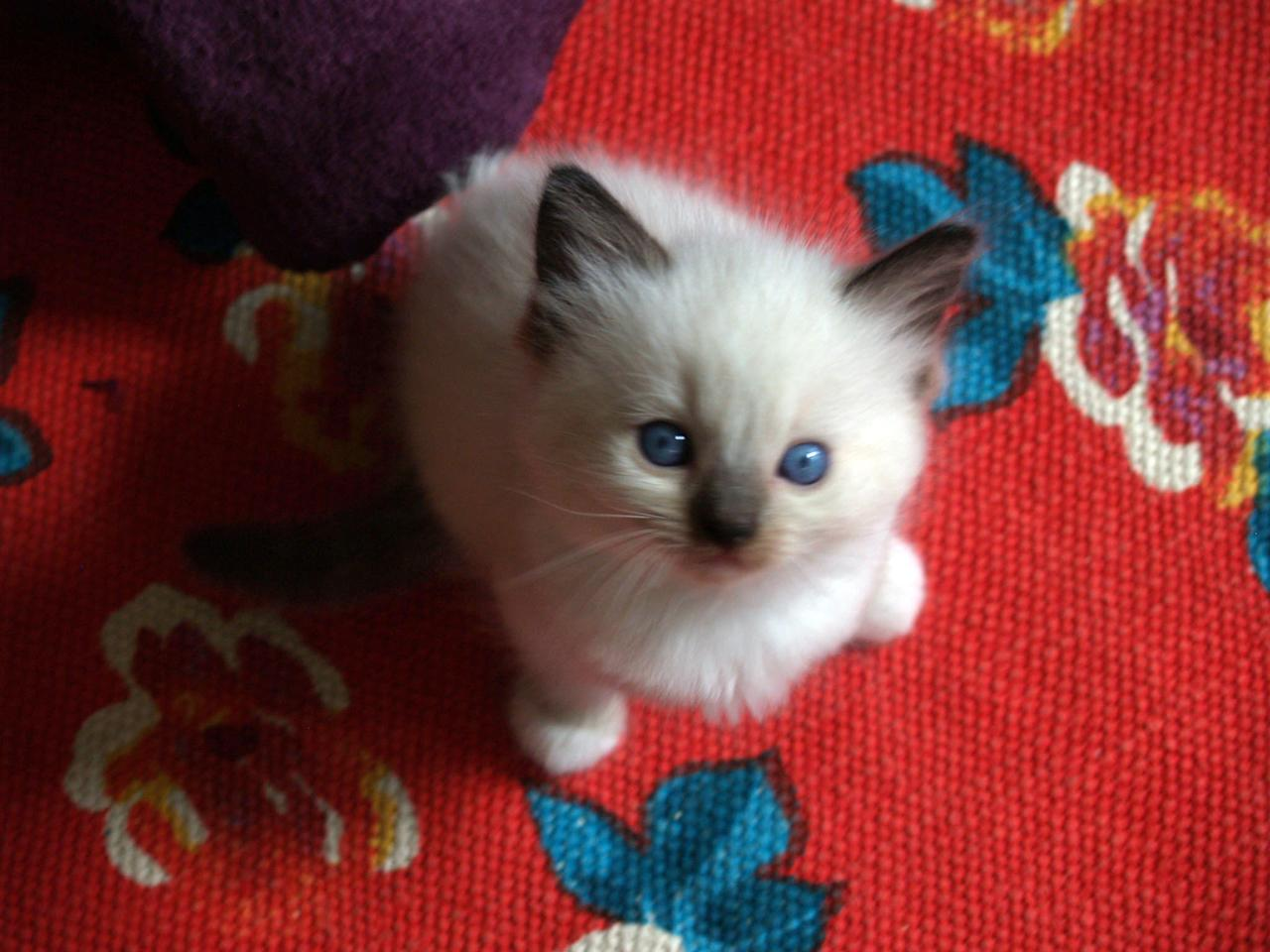 "Ragdoll kitten featured on Animal Planet's ""Too Cute! Kittens."""