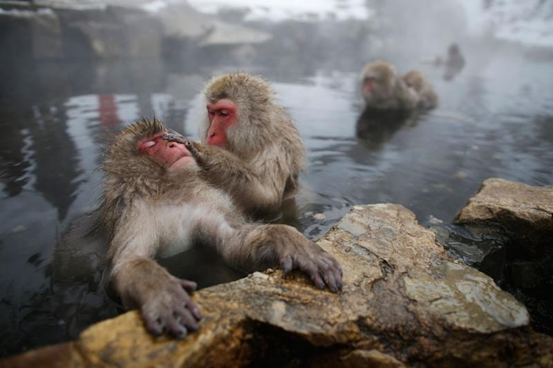 Two Monkeys Live Like 'Married Couple', Go to Restaurants and Dress Up in Human Clothes