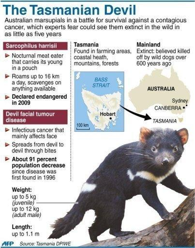 Graphic on Australia's Tasmanian Devils, rare carnivorous marsupials in a battle for survival against a contagious facial cancer. It's been hundreds of years since the Tasmanian devil last lived on the Australian mainland but, in the misty hills of Barrington Tops, a pioneering group is being bred for survival