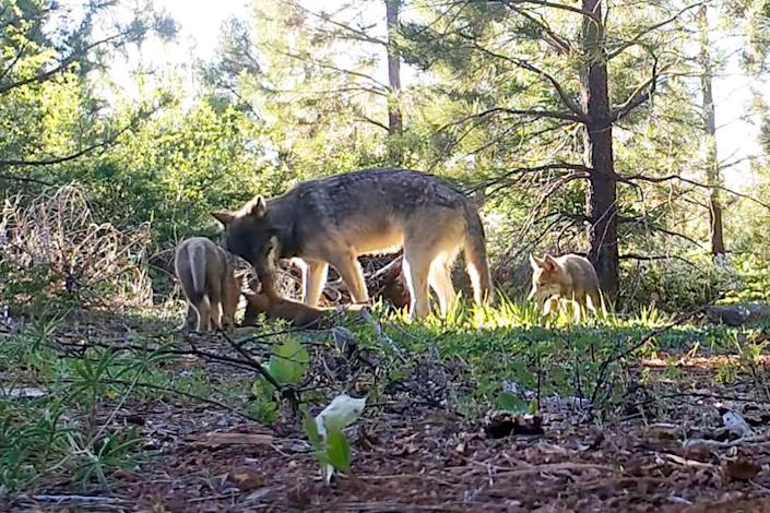 An adult wolf and three pups in Lassen county.