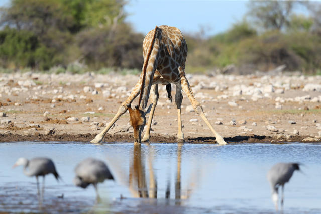 <p>A giraffe drinks from a pool at Klein Namutoni watering hole at the Namutoni camp in Etosha National Park. (Photo: Gordon Donovan/Yahoo News) </p>