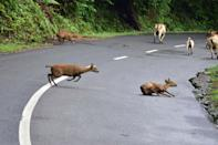 Wild deers cross a National Highway in search for safer places at the flood affected area of Kaziranga National Park in Nagaon District of Assam. (Photo credit should read Anuwar Ali Hazarika/Barcroft Media via Getty Images)