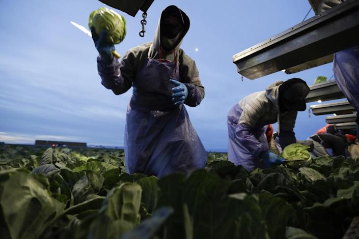 Farmworkers picks cabbage before dawn in a field outside of Calexico.