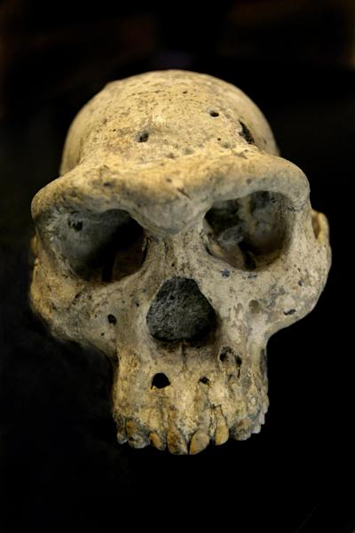 This photo taken Oct. 2, 2013, in Tbilisi, Georgia, shows a pre-human skull, that was found in 2005 in the ground at the medieval village Dmanisi, Georgia. The discovery of the 1.8 million-year-old human ancestor captures early human evolution on the move in a vivid snapshot and indicates our family tree may have fewer branches than originally thought, scientists say. (AP Photo/Shakh Aivazov)