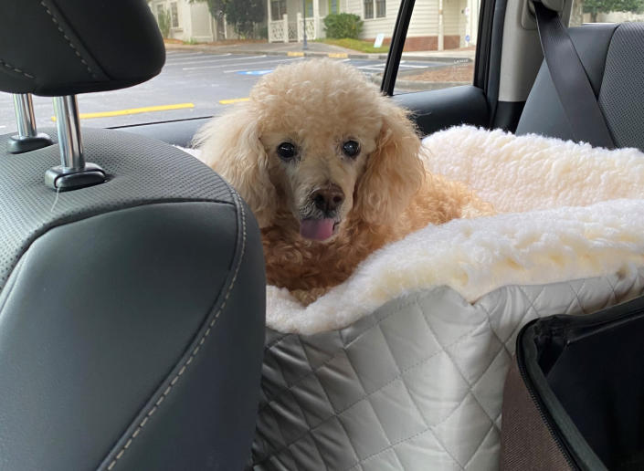 Timmy, a rescue poodle owned by Linda Sheffield, appears in her car in Marietta, Ga., on Oct. 12, 2020. Timmy died this year after Sheffield consulted an animal communicator, who told her the dog was gravely ill. (Linda Sheffield via AP)