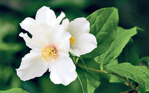 If you prune Philadelphus 'Belle Etoile', pictured, it will flower until autumn - GAP Photos/FhF Greenmedia