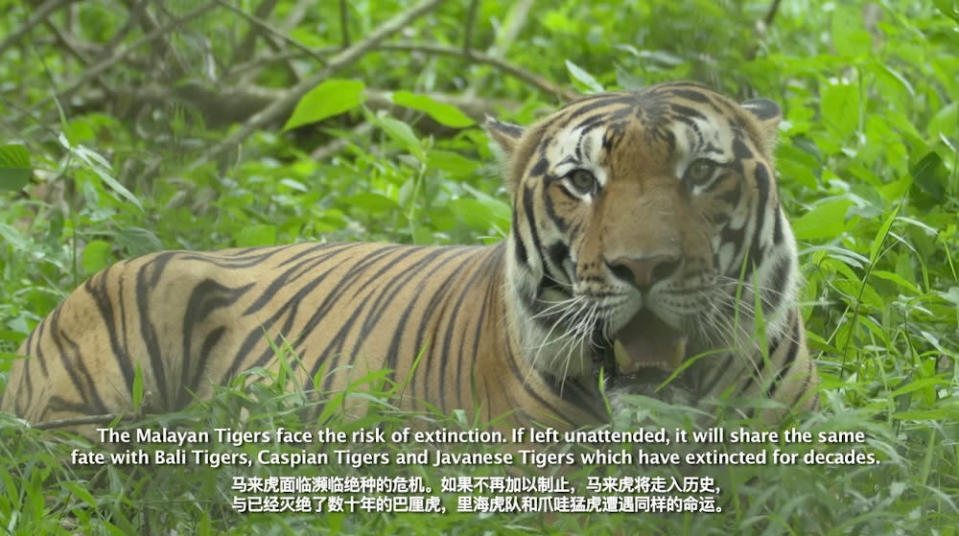 The Malayan Tiger: It's Now or Never!' highlights the challenges of protecting the endangered species that are on the verge of extinction. — Picture courtesy of Taylor's University