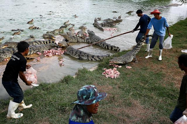 <p>Workers feed crocodiles at Sri Ayuthaya crocodile farm in Ayutthaya province, Thailand, May 23, 2017. (Photo: Athit Perawongmetha/Reuters) </p>