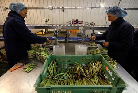 Eastern European workers pack asparagus at Cobrey Farm in Ross-on-Wye, Britain, March 11, 2019. Picture taken March 11, 2019. REUTERS/Peter Nicholls