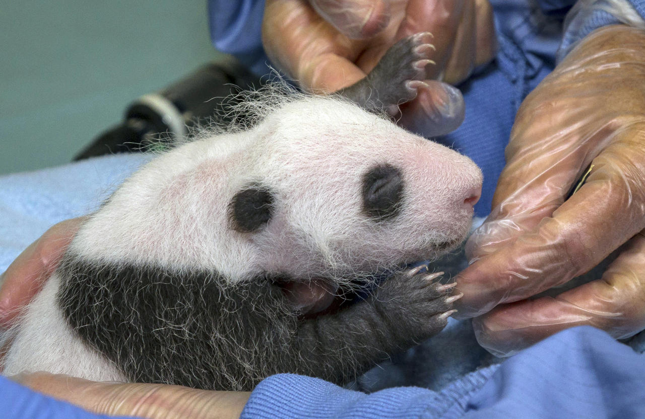 This  image provided by the San Diego Zoo shows a giant panda cub receiving its first veterinary exam Thursday,  Aug.  23, 2012, in San Diego. The exam allowed staff to determine that the cub is healthy, thriving and weighs 1.5 pounds, but were not able to determine the sex. This is the sixth giant panda born at the San Diego Zoo, the most born at a breeding facility outside of China.(AP Photo/San diego Zoo, Ken Bohn)