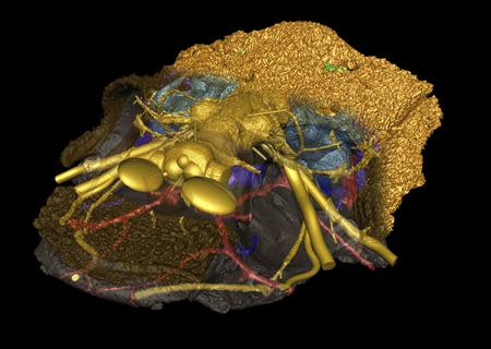 A computer model of a Romundina based on scan data from the 2cm long Romundina skull is shown in this image courtesy of Uppsala University in Sweden. REUTERS/Vincent Dupret/Uppsala University/Handout