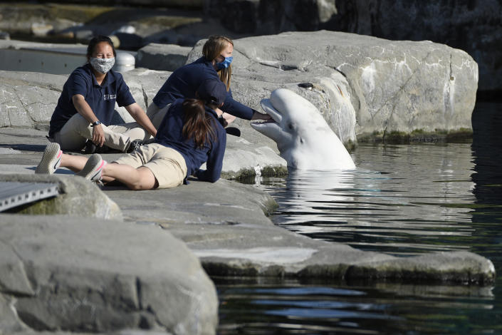 Mystic Aquarium trainers play with a Beluga whale, Friday, May 14, 2021, in Mystic, Conn. Three Beluga whales will arrive at the aquarium later Friday from Marineland in Niagara Falls, Ontario, Canada. The whales will be leaving an overcrowded habitat with about 50 other whales and will be at the center of important research designed to benefit Belugas in the wild. (AP Photo/Jessica Hill)