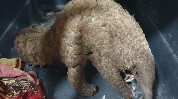 Thane Forest Department, Vashi police, Indian pangolin rescued in Vashi, Vashi police rescues pangolin, Mumbai news, city news, Indian Express