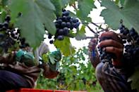 Argentina's signature Malbec grape, being picked here at the Terrazas de los Andes vineyard in Mendoza, is hugely popular