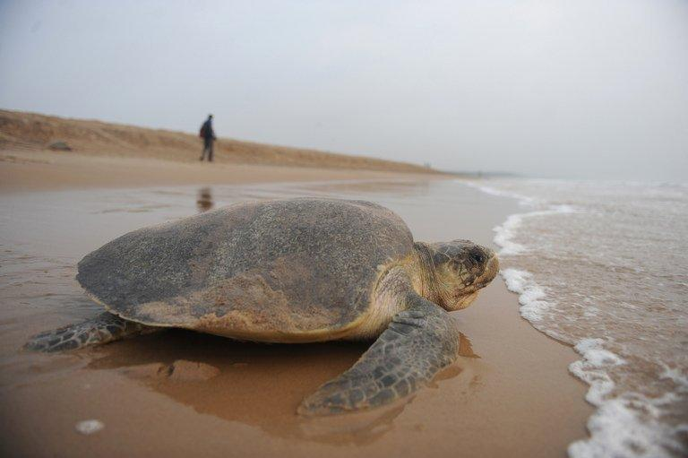 An Olive Ridley turtle returns to the sea after laying eggs on Rushikulya beach, south west of Bhubaneshwar, eastern India, on March 17, 2010. Conservationists have expressed alarm over the low number of turtles arriving on the coast of east India and Bangladesh for the nesting season, blaming overfishing and climate change for the decline