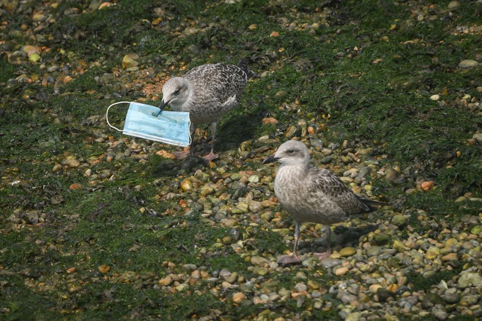 A gull picks up a discarded protective face mask from the shoreline in the marina on August 11, 2020 in Dover, England. Wildlife conservation groups have warned of the impact that single-use facemasks are already having on the environment, with discarded facemasks, rubber gloves, hand sanitiser bottles and other pieces of single-use PPE washing up on beaches globally. With billions of disposable masks in use around the world, conservationists are concerned that a new wave of plastic-based waste will create huge problems over the coming years.
