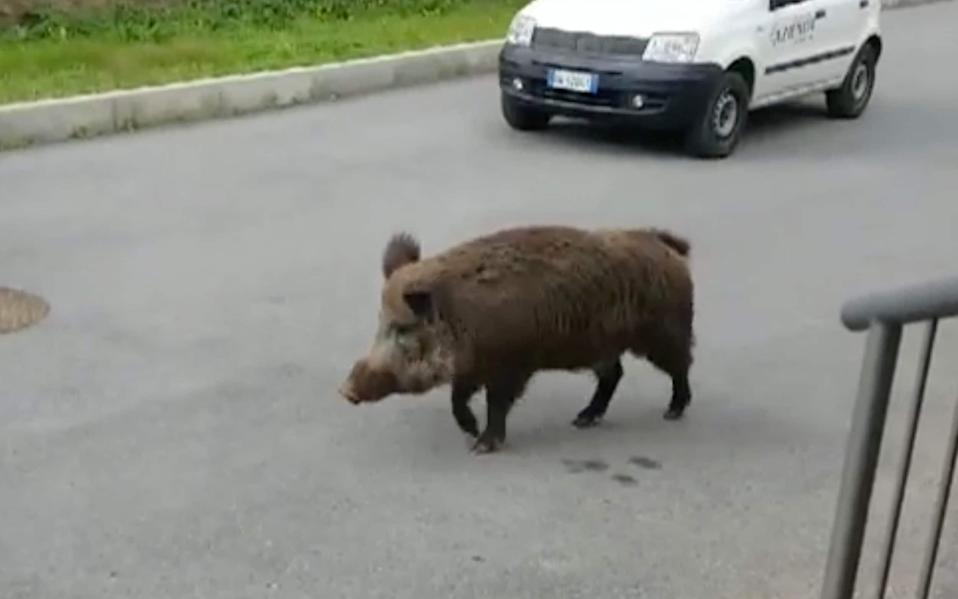 Wild boar are a relatively common sight in towns and cities in Italy - Giornale Di Sicilia