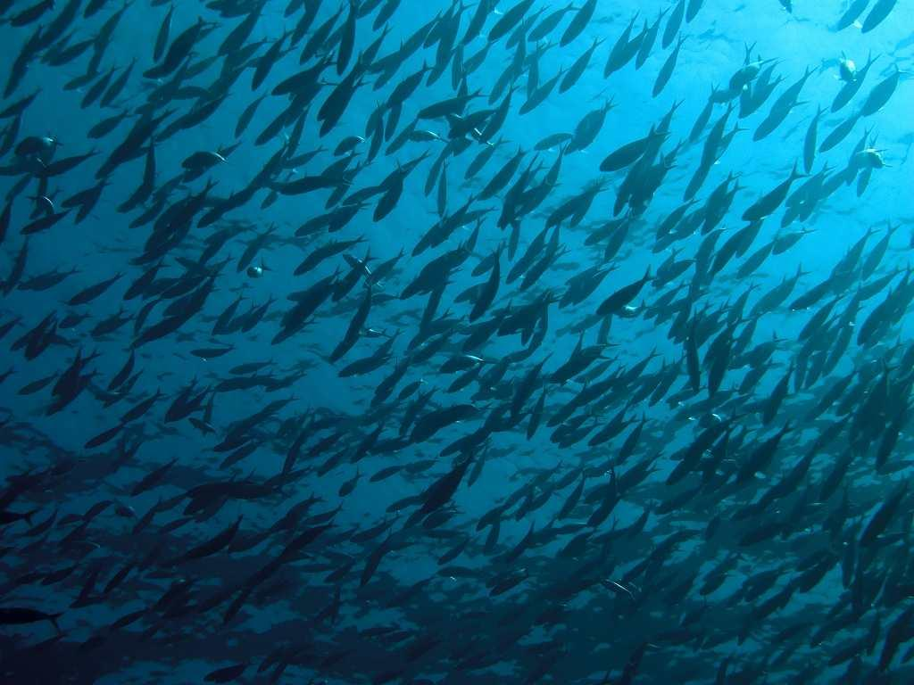 Shoaling fish in the Andaman Sea.