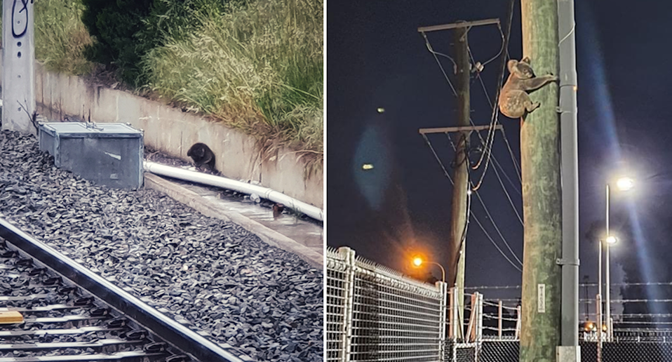 A koala (left) was found beside train tracks in Adelaide just one day prior to another (right) crossed a railway corridor in Moreton Bay. Source: Southern Koala Rescue / Queensland Rail