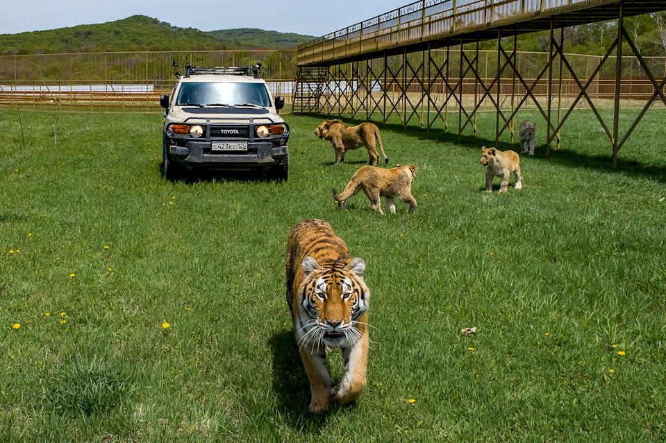 PRIMORYE TERRITORY, RUSSIA - MAY 14, 2020: Lions and a tiger walk by a car with safari visitors inside. Safari visitors can drive past wild animals and feed them by themselves. Yuri Smityuk/TASS (Photo by Yuri Smityuk\TASS via Getty Images)