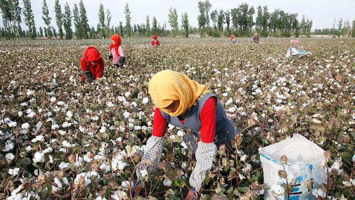 Uyghurs picking cotton in the north-western Chinese region of Xinjiang (file pic)