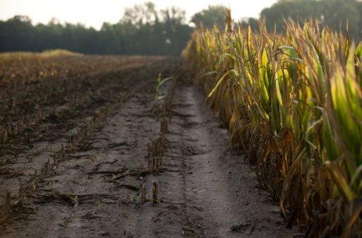 Rows of corn severely damaged by widespread drought is left standing