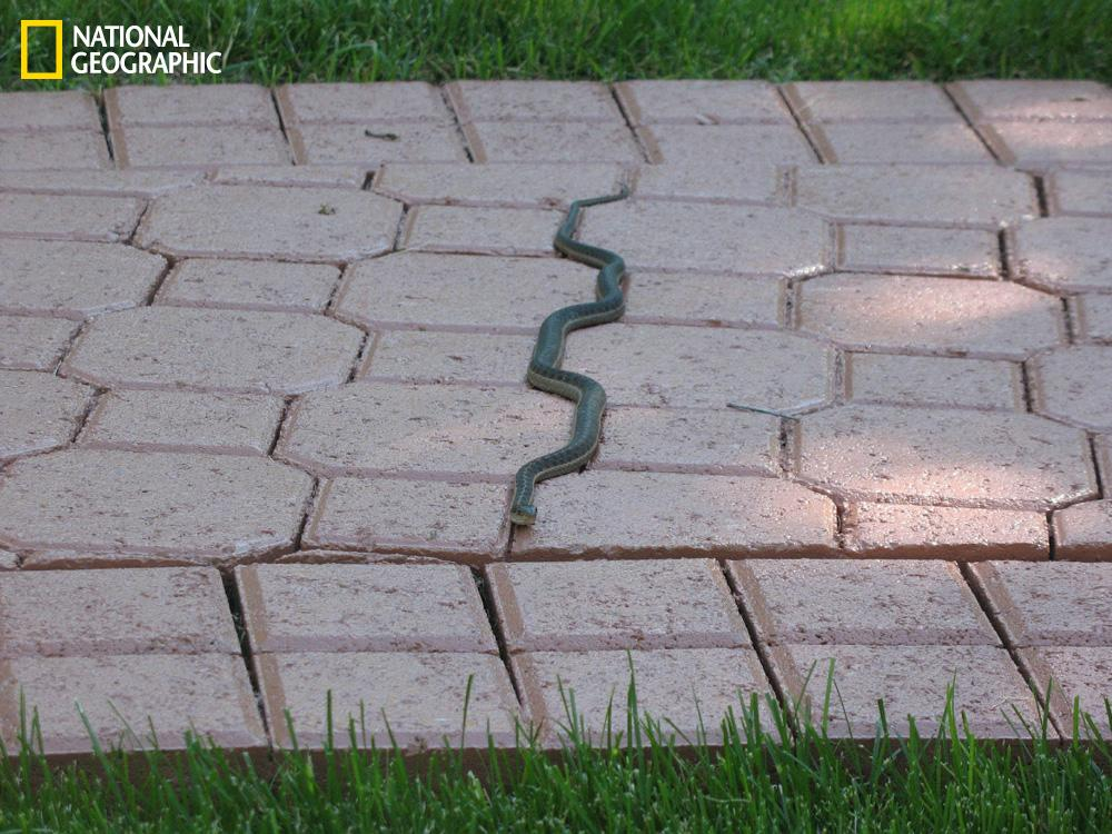 """With the National Geographic Your Shot feature, readers and amateur photographers can submit their images for possible publication on the website and in the magazine. Check out this slideshow to see some of the best photos from September.  """"When I was visiting my parents in Utah this summer, I saw this garter snake on the backyard walkway, left warm from the afternoon sun. Its odd configuration led me to believe it was stuck in the crack since my brother had just recently finished putting sealant on the bricks. After taking a few photos of the hapless animal, I prepared to prod it gently to see if it truly was stuck. As I got to within two feet of it, it swiftly left its warm crack and slithered away. Not stuck—relief.""""  (Photograph Courtesy Alexandria Dixon  /National Geographic Your Shot)"""