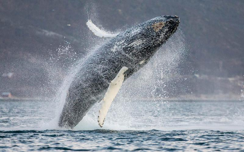 The study of Humpback whales lasted 13 years - Espen Bergersen / NPL/ mediadrumworld.com