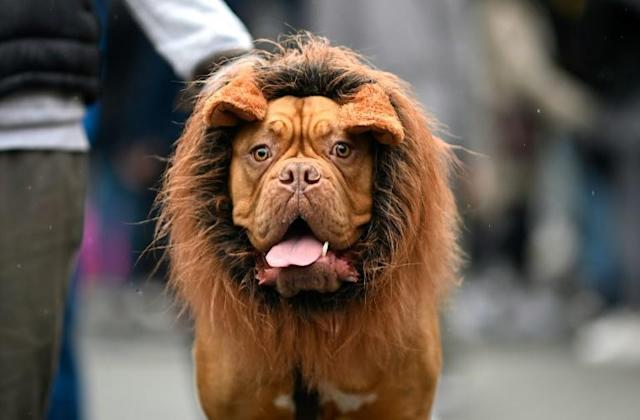 A dog dressed in a lion costume attends the Tompkins Square Halloween Dog Parade in Manhattan in New York City, United States (AFP Photo/Johannes EISELE)