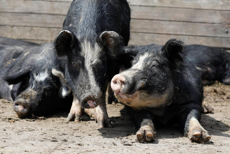 Berkshire hogs rest in a pen on the Chris Petersen farm near Clear Lake, Iowa, on April 17.