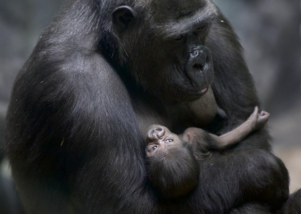 A gorilla holds her baby in Moscow Zoo, Russia, on Tuesday, Feb. 12, 2013. The baby gorilla was born at Moscow Zoo last Wednesday. (AP Photo/Ivan Sekretarev)