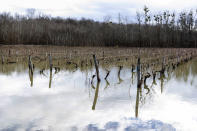 Floodwaters submerge vineyards near Cognac, southwestern France, Sunday, Feb. 7, 2021. Floodwaters have devastated many vineyards and orchards in southwest France including in the French town of Saintes where many people were evacuated from flooded homes, and in Paris the Seine River overflowed its embankments. (AP Photo/Yohan Bonnet)