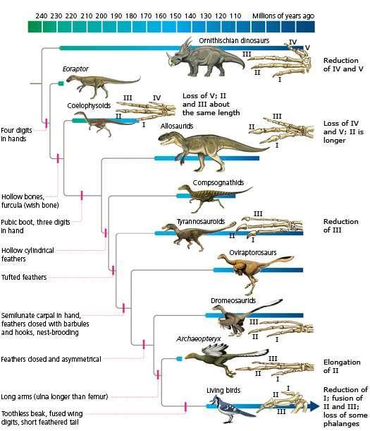 Phylogénie des dinosaures. © The Tangled Bank: An Introduction to Evolution, Carl Zimmer