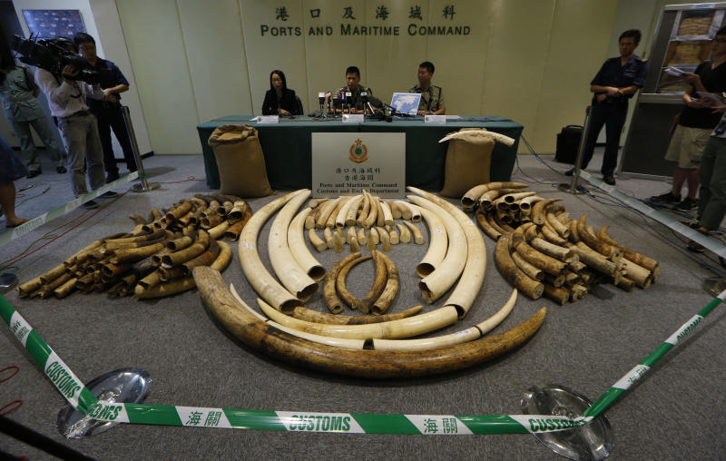 """In this Thursday, Oct. 3, 2013 photo, elephant tusks are displayed after being confiscated by Customs in Hong Kong. The latest shipment, 189 tusks worth $1.5 million hidden in soybean sacks in a shipping container, was one of four major busts this year. Ivory is known as """"white gold"""" because of the rich prices it commands on the black market. Hong Kong has put values of between $1,000 and $2,000 a kilogram on ivory it seized this year. (AP Photo/Kin Cheung)"""