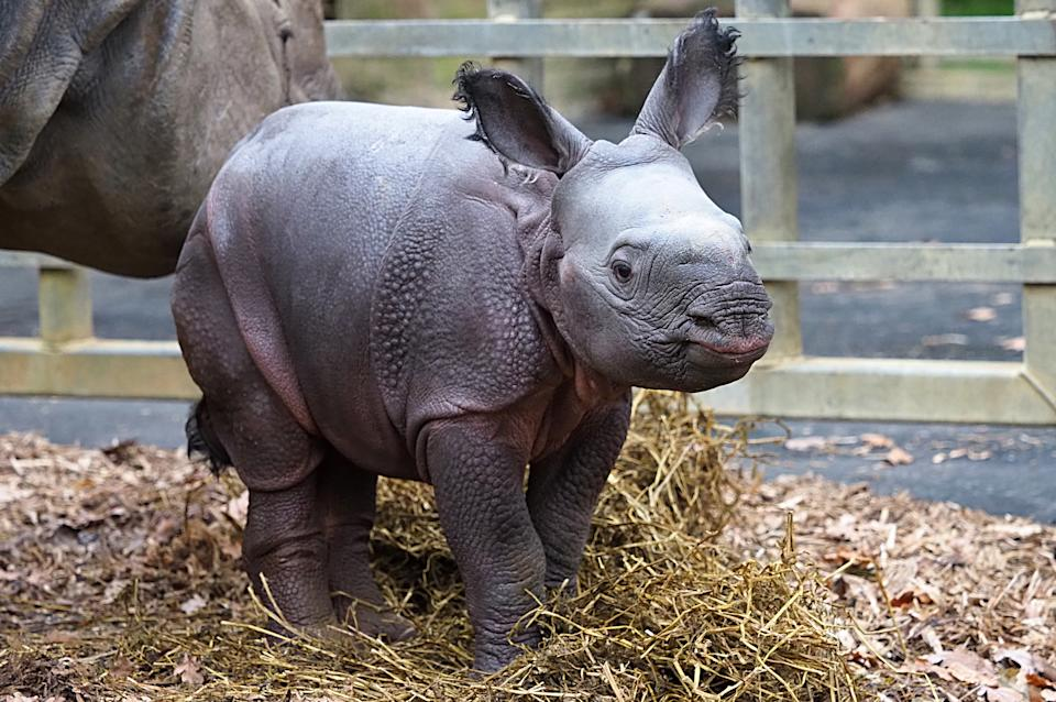 The baby greater one-horned rhino (ZSL Whipsnade Zoo/PA)