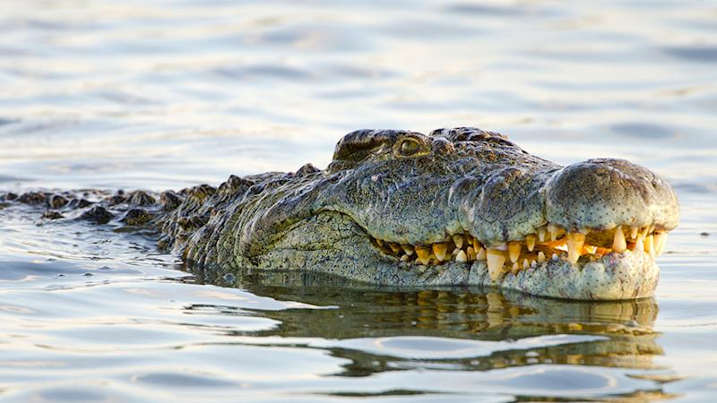 Picture of a crocodile submerged in water, similar to the crocodile which attacked a nine-year-old girl