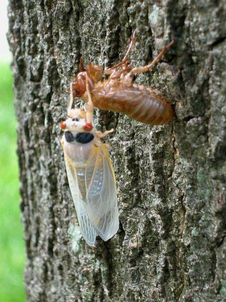 PHOTO: A newly emerged adult cicada sheds its exoskeleton on a tree May 16, 2004 in Reston, Va., May 16, 2004. (Richard Ellis/Getty Images, FILE)