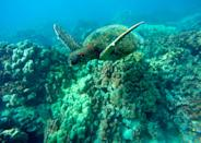 In this Sept. 11, 2019 photo, a green sea turtle swims near coral in a bay on the west coast of the Big Island near Captain Cook, Hawaii. Just four years after a major marine heat wave killed nearly half of this coastline's coral, federal researchers are predicting another round of hot water will cause some of the worst coral bleaching the region has ever seen. (AP Photo/Brian Skoloff)