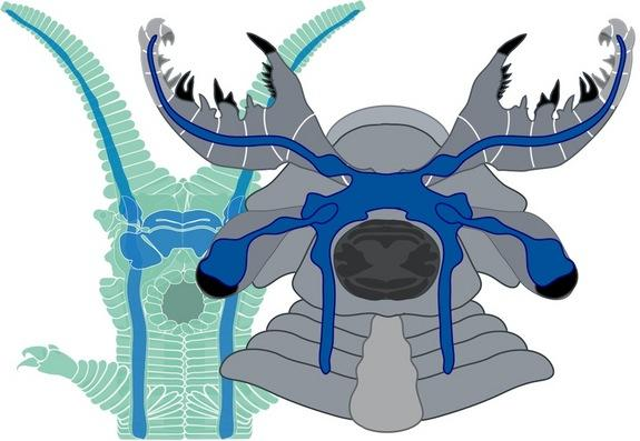 A newly discovered species of Cambrian creature, dubbed <i>Lyrarapax unguispinus</i> (on right), shows some similarities in its nervous system to a modern-day group known as velvet worms (shown on left). In both, nerves from the frontal appenda