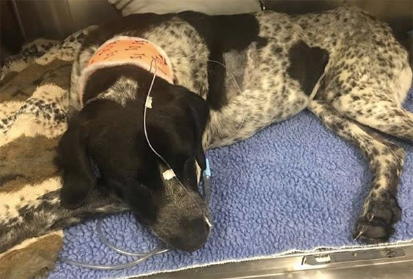 Dozer required surgery to have fluid drained from his lungs. Photo: Facebook