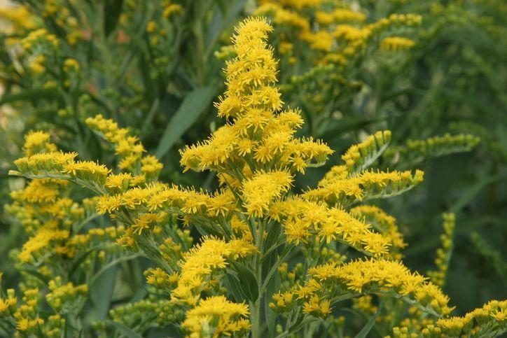 """<p>These <a href=""""https://www.ediblewildfood.com/goldenrod.aspx"""" rel=""""nofollow noopener"""" target=""""_blank"""" data-ylk=""""slk:brilliant buds"""" class=""""link rapid-noclick-resp"""">brilliant buds </a>not only shine in early fall but also have well-known healing properties. Common lore mistakenly holds that goldenrod causes allergies, but only wind-pollinated plants like ragweed, which blooms at the same time as goldenrod, can cause allergic reactions. Goldenrod actually has astringent qualities that can be an antidote for seasonal allergies. <br></p><p><strong>When it blooms: </strong>Late summer through fall</p><p><strong>Where to plant:</strong> Full to partial sun</p><p><strong>When to plant:</strong> Fall or spring</p><p><strong>USDA Hardiness Zones:</strong> 2 to 8</p>"""